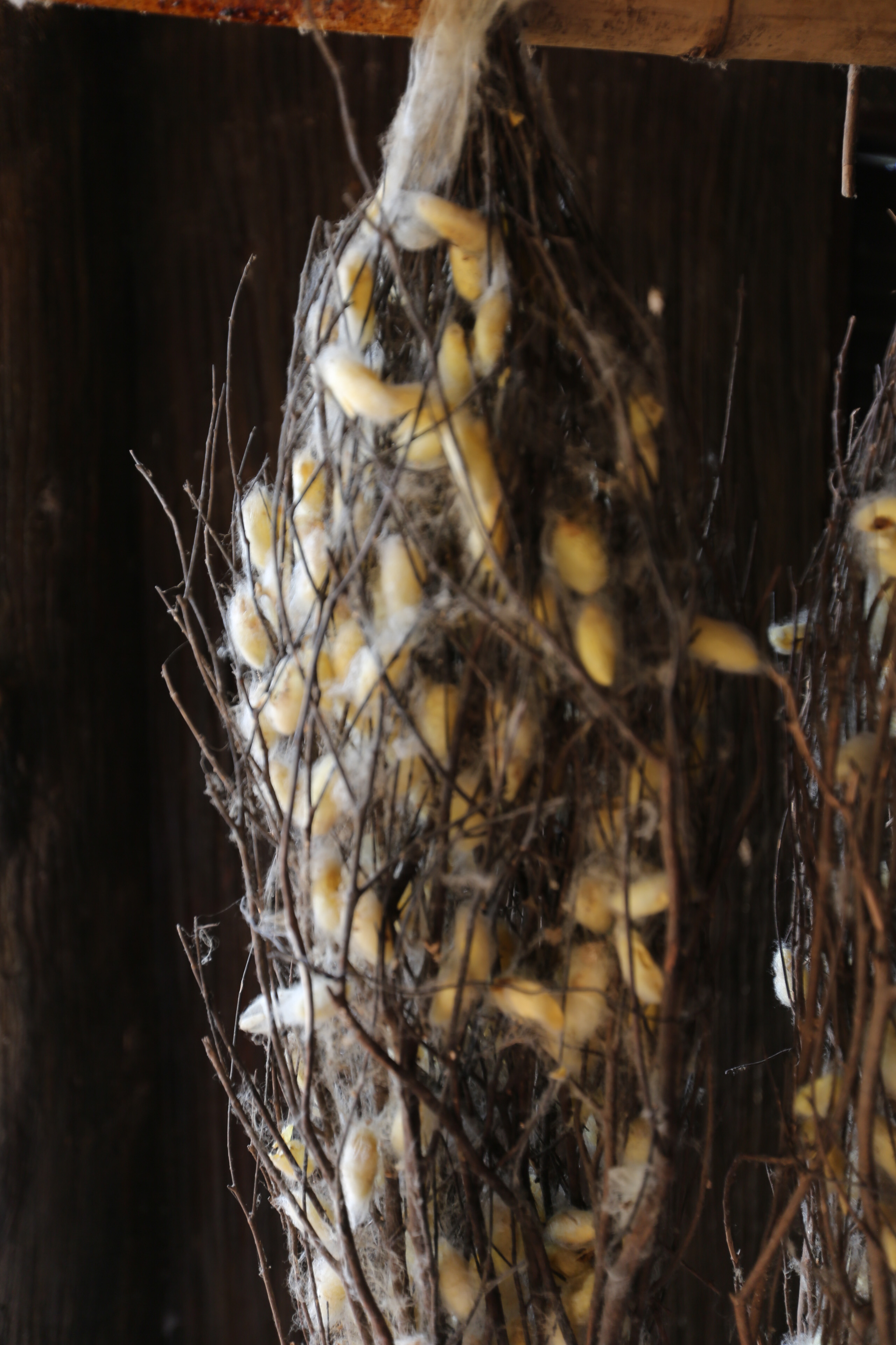 Silk worm Cocoons-1